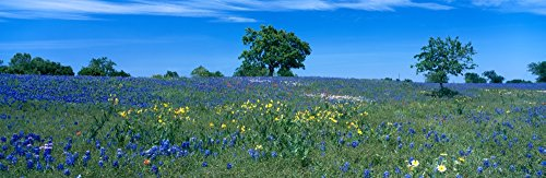 Texas bluebonnets (Lupininus texensis) flowers in a field Texas Hill Country Texas USA Poster Print (12 x 36)