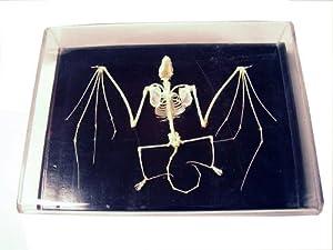 C & A Scientific - Premiere 51010 Real Bat Skeleton