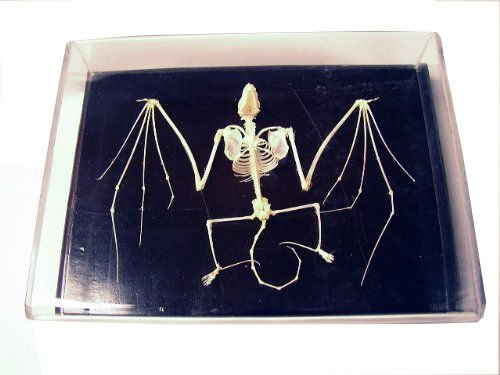 Skeleton Acrylic (C & A Scientific - Premiere 51010 Real Bat Skeleton)