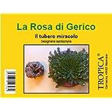 TROPICA - Rosa di Gerico (Selaginella lepidophylla) – piccole dimensioni - tuberi - 5 pezzi