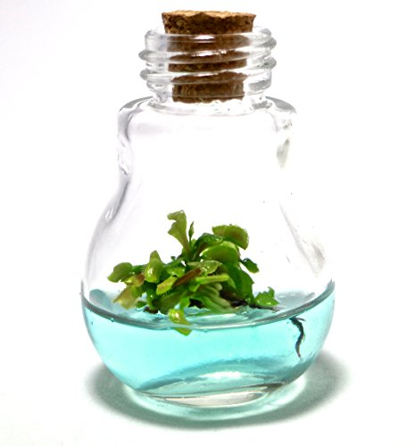 Venus Fly Trap Terrarium - Venus Fly Trap, B52 mericlone, Maintenance Free, 100% Growth Guarantee