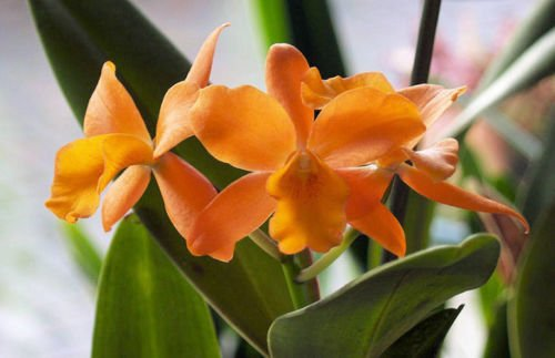 Pot. Jim Krull 'Hunabu' Mini-Cattleya-Easy to grow-Cute Blooms twice a year- orchid plant