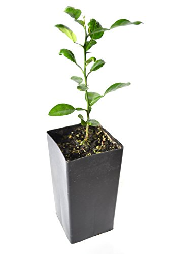 TreesAgain Potted Kaffir Lime Tree - Citrus Hystrix - 4 to 8+ inches ()