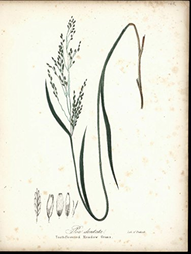Pao Dentata Tooth Flowered Meadow Grass 1843 antique color botanical print