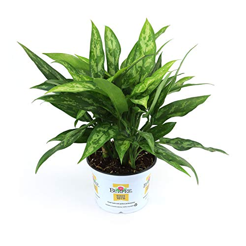 Burpee Chinese Evergreen Agloanema Maria | Bright Indirect Light | Live Easy Care Indoor House Plant, 6