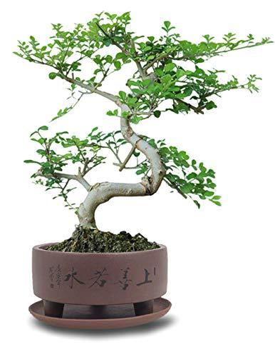 "Dahlia 5.2""""Top Virtue is Like Water Zisha Bonsai Planter Flower Pot w. Saucer, Dark Brown"