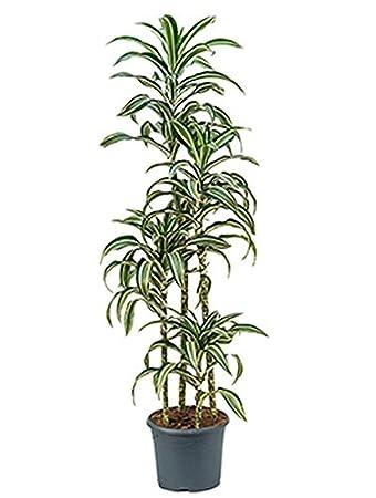 Drachenbaum Jade Jewel Grosse Zimmerpflanze Wenig Licht Dracaena