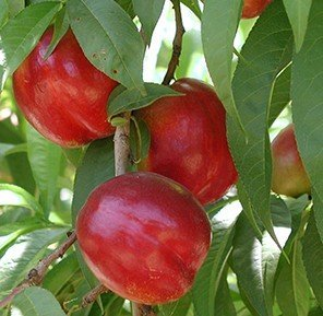 Flavortop Nectarine Tree Shipped in Soil, Five Gallon Container