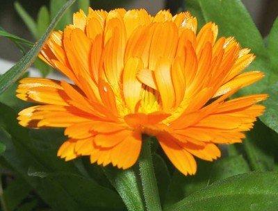 Heirloom 250 Seeds Calendula Officinalis Pot English Marigold Orange Golden Garden Herb Flower Bulk Seeds B1012