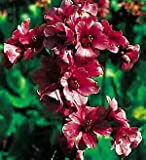 Bergenia purpurascens Perennial Flowers Seeds 1,000 Pcs an