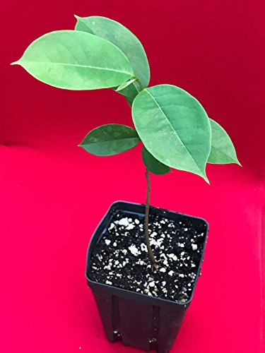 New and Healthy Annona Muricata Graviola Soursop Guanabana Potted PLANT Tropical Tree 10-13