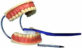3B Scientific  D16 Modelo de anatomía humana Modelo de Cuidado dental, 3 Veces Su Tamaño Natural