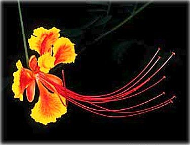 Seeds and Things Caesalpinia pulcherrima-Desert Bird of Paradise 10 seeds (Mexican Bird Of Paradise Seeds For Sale)