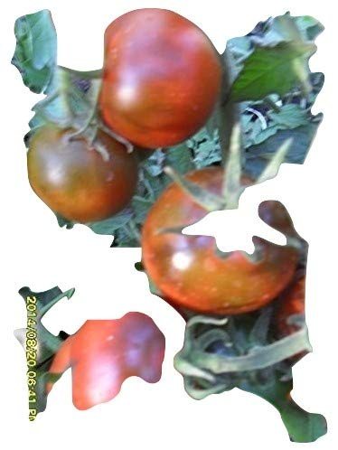 Soldacki Tomatensamen 10 Samen alte Sorte Tomate aus Polen lecker robust rosa