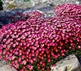 175 Very Tiny Seeds of Purple Robe 3497 (Saxifraga Arendsii)