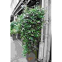 IDEA HIGH Trachelospermum jasminoides Japonicum (Majus) - Star Jasmine, Plant in 9cm Pot