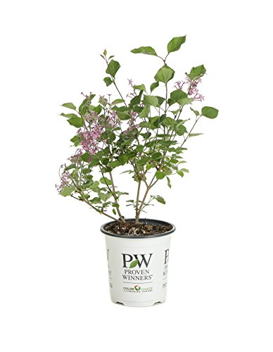 Bloomerang Dark Purple Reblooming Lilac (Syringa) Live Shrub, Purple Flowers, 4.5 in. Quart
