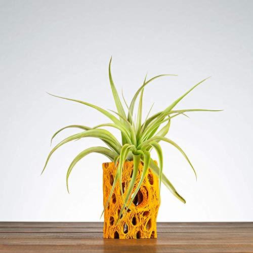 Orange Cholla Air Plant Holder, Indoor Planter, Plants for Desks, Shelf Plants, Air Plants, Air Plant Displays, Unique… 4