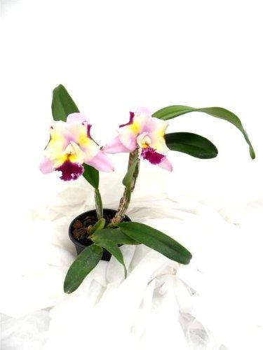 1 blühfähige Orchidee der Sorte: Lc. Maris Song, 12-13cm Topf