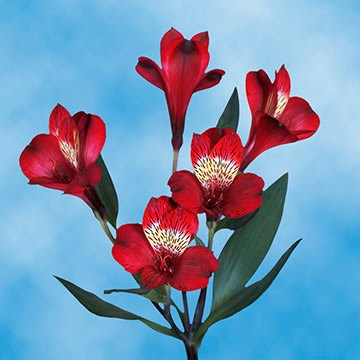 GlobalRose 120 Blooms of Red Fancy Alstroemerias 30 Stems - Peruvian Lily Fresh Flowers for Delivery by GlobalRose