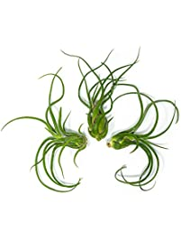 Good 3 Giant Tillandsia Caput Medusae Air Plants ...
