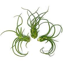 3 Giant Tillandsia Caput Medusae Air Plants - 8 to 10 inch - Live House Plants for Sale - Indoor Terrarium Air Plant