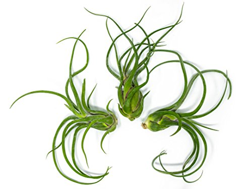 3 Giant Tillandsia Caput Medusae Air Plants - 6 to 8 inch - Live House Plants for Sale - Indoor Terrarium Air Plant