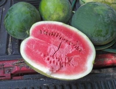 David's Garden Seeds Fruit Watermelon Black Diamond DSVWAT11 (Red) 50 Heirloom Seeds