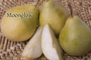 3 N 1 PEAR TREE - (Orient, Moonglow, and Bartlett Pear grafted to one tree)