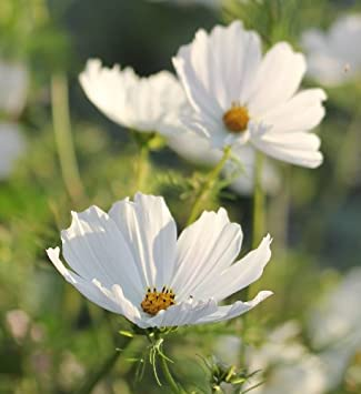 Cosmos purity large white flowers all summer seeds amazon cosmos purity large white flowers all summer seeds mightylinksfo Images