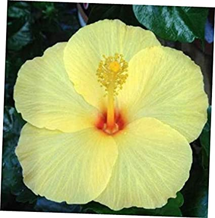 Amazoncom Seeds 10 Light Yellow Hibiscus Seeds Perennial Tropical