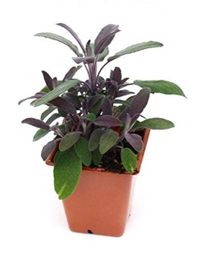 Sage 'Purple' Herb Plant (Pack of 1)