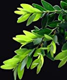 Boxwood Leaf, Cut&Sifted - Wildcrafted - Buxus sempervirens (454g = One Pound) Brand: Herbies Herbs
