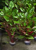 3 Pcs of (6+ Stems) Alternanthera Bettzickian Bunch Red Ficoidea Live Aquarium Plants
