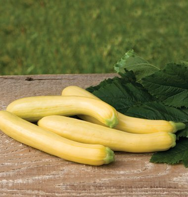 David's Garden Seeds Squash Summer Slick Pik YS 26 D640GHB (Yellow) 25 Hybrid Seeds