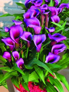 True Good quality calla lily bulbs, (not calla lily seed),balcony bonsai flower bulbs, Pure and noble plant pot - 2 pcs 13 by SVI
