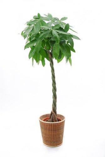 ☆観葉植物 パキラ8号 約100cm (移転転居祝いに最適!) B0018HPFZE