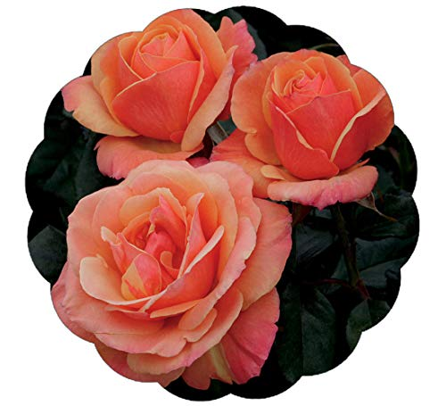 Anna's Promise Rose Bush - Downton Abbey Series - Fragrant Salmon Pink with Copper Overtones Flowers Grown Organic 4