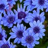 BLUE DAISY FELICIA FLOWER SEEDS - 25 FRESH SEEDS