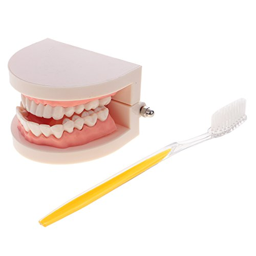 Dovewill 1:1 Life Size Human Mouth Teeth Model with Toothbrush School Teaching Tools Lab Supplies