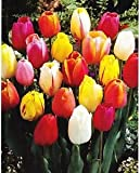 GARTHWAITE NURSERIES® : - 50 Mixed Darwin Hybrid Tulip Bulbs Spring Flowering Hardy Garden Perennial