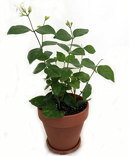 Jmbamboo- Gardens Maid of Orleans Arabian Tea Jasmine Plant 4'' Clay -