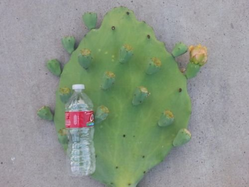 Mexican Prickly Pear (Opuntia Old Mexico Spineless Cactus Plant (1 Pad))