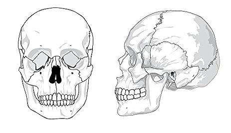 Amazon.com: LAMINATED 41x24 inches Poster: Skull Diagram Bones ...