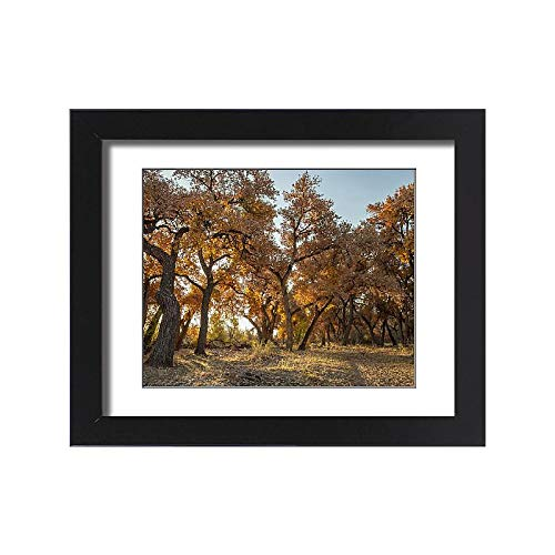 - Media Storehouse Framed 15x11 Print of Cottonwood Trees in Fall Foliage, Rio Grande Nature Park, Albuquerque (19033656)