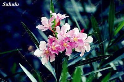 150 piezas de Nerium Oleander Semillas Semillas Plantas en maceta japoneses decoración del jardín de la floración de semillas fáciles de cultivar purificar el aire 7: Amazon.es: Jardín