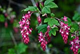 Red Currant Ribes Sanguineum 2 Gallon Live Plant Red Flowers in Spring DL1