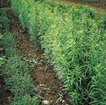 SANHOC Samen-Paket: Frisch HeirloomRussian Estragon -Seeds --- s