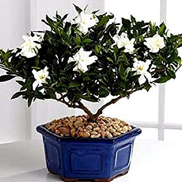 Prime hot Sale 10 pcs/Pack Jasmine Seeds Seeds Seeds White Flowers Tree in pots for The House -