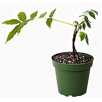 Amazon.com: Wisteria Azul (chino) -healthy arbusto/Vine ...